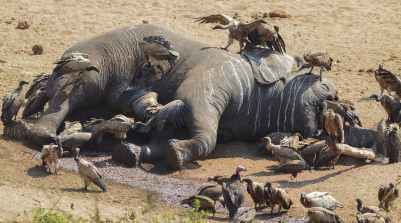 Mort-d'Elephants