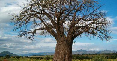 baobab-Tanzanie